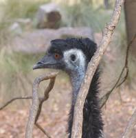 Emu in the Tree