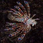 """lionfish"" by phototes"