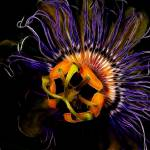 """Passion Flower"" by gluciano80"