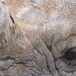 """Great Indian Rhinoceros Detail"" by JSHollands"