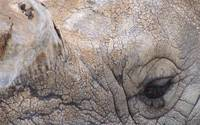 Great Indian Rhinoceros Detail