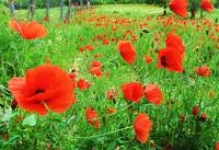 Springtime Field of  Red Poppies