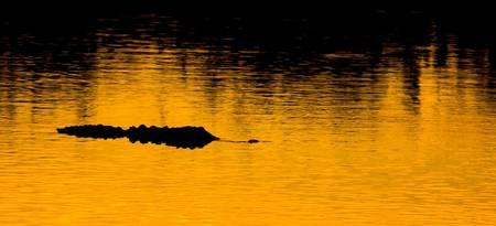 Sunset Alligator