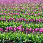 """Purple Tulip Field"" by VictoriaLarsen"