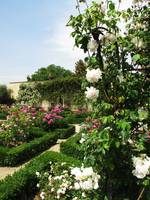 White and Pink Roses in a formal rose garden
