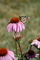 Pink Black Eyed Susan and Monarch Butterfly