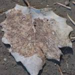 """winter leaf"" by griffinart"
