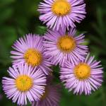 """Wild Asters"" by dkocherhans"