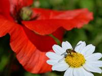 The poppy, the bee and the daisy