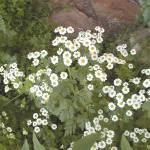 """Woodland Daisies"" by VictoriaLarsen"