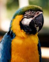 Blue Parrot Regalia