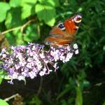 """Butterfly & Buddleia"" by InspiringImages"