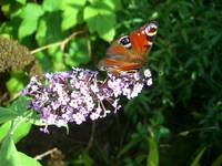 Butterfly & Buddleia