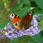 """Peacock Butterfly & Buddleia"" by InspiringImages"