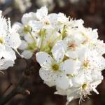 """Blooms on the aristocrat pear tree Stillwater OK"" by WarrenBrown"
