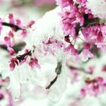 """Spring Snow 083"" by WarrenBrown"