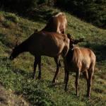 """""""Elk"""" by WarrenBrown"""