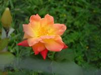 Another Texas Rose