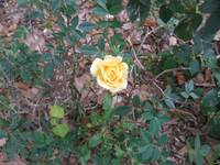 Miniature Rose 002