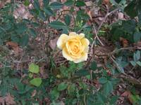 Miniature Rose front yard
