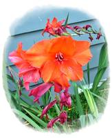 Sunset Orange Gladiolas