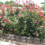 """Roses by Harris County Tax Office"" by JESSECSMITHJR"
