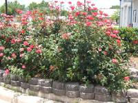 Roses by Harris County Tax Office