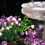 """Bird Bath & Tulips"" by luv4pix"