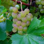 """""""Grape clusters"""" by floridagrapes"""