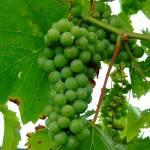 """Blanc Grapes"" by floridagrapes"