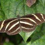 """Zebra Longwing (IMG_8486)"" by jvandyke"