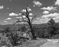 Dead Tree - Chimney Rock