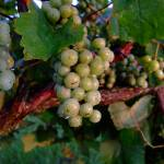 """""""Juicy Blancs on the vine"""" by floridagrapes"""