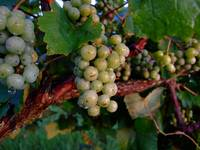 Juicy Blancs on the vine