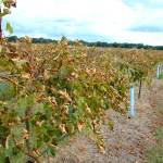 """""""Vines shedding their leaves"""" by floridagrapes"""