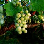 """""""Juicy Blancs on the vine (Color-enhanced)"""" by floridagrapes"""