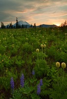 Rainier Wildflower Light