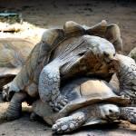 """""""Tortoise porn #3 (still)"""" by EmperorNorton47"""