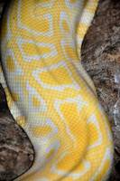 Yellow snakeskin