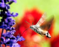 Hummingbird Hawk-moth (series)