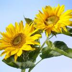 """sunflowers"" by cisfo"