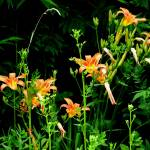 """""""Day Lilies in the Wild (#732)"""" by protophotogsl"""