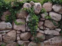 Stone Wall and Vines