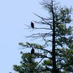 """Bald Eagles in Tree"" by azvirtual"