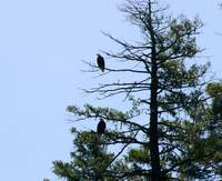 Bald Eagles in Tree