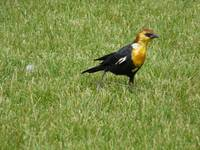 Yellowhead blackbird