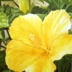 """Yellow Hibiscus"" by landomac"