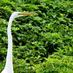 """egret on green"" by jeco"