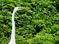 egret on green