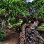 """Balboa Tree"" by moorefoto"